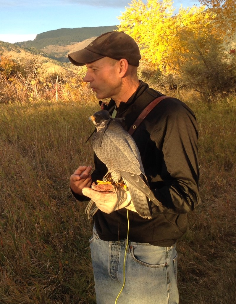 Brian Mutch in Sheridan, WY, with his peregrine falcon, Halo