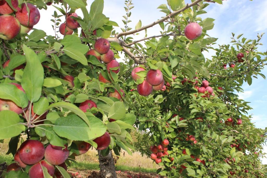 Apple_orchard_in_Brampton full