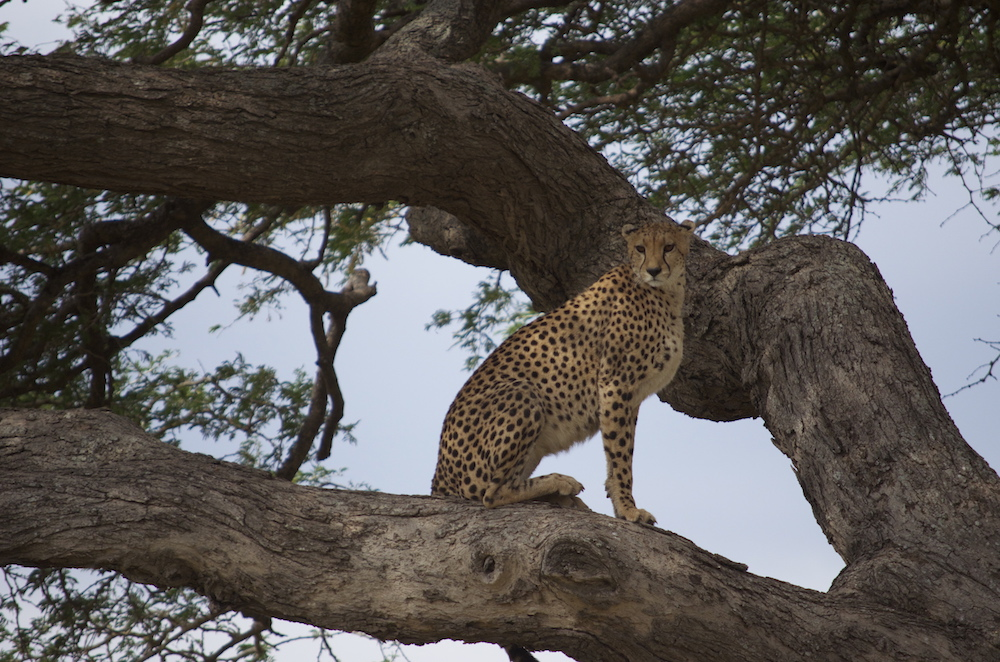 Very rare to see a cheetah in a tree! Ngorogoro Crater, 2012.